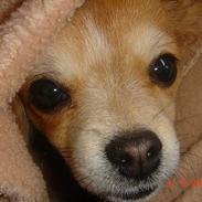 Chihuahua Balsam