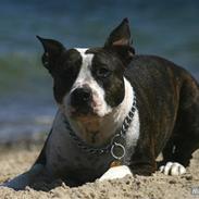 Amerikansk staffordshire terrier Northern Amstaffs Freya