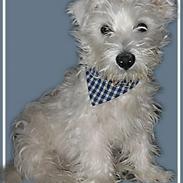 West highland white terrier Chewbacca