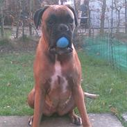 Boxer Lucy