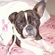 Fransk bulldog Gerda Olsen