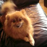 Pomeranian RIP Trikkie <3 2002 -2012