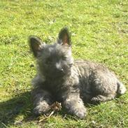 Cairn terrier Ronja