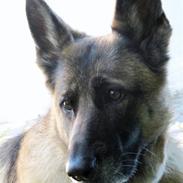 Schæferhund Freja <3 R.I.P.