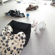 West highland white terrier Oskar