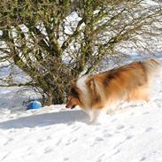 Shetland sheepdog Poulsgaards Take a Chance
