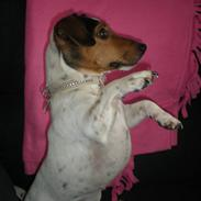 Jack russell terrier Molly