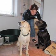 Labrador retriever Buddy