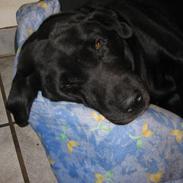 Labrador retriever Felix R.I.P