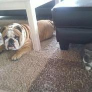 Engelsk bulldog Rocky