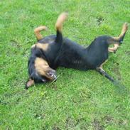 Rottweiler Luna R.I.P.