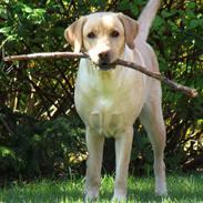Labrador retriever Freja