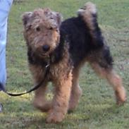 Airedale terrier Bowie