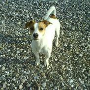 Jack russell terrier Tjaus