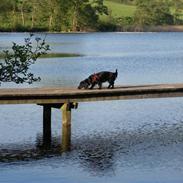 Dværggravhund Mille