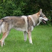 Tjekkoslovakisk ulvehund Cember