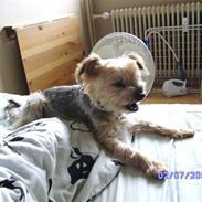 Yorkshire terrier Mulle † DØD 1.6.2011 †