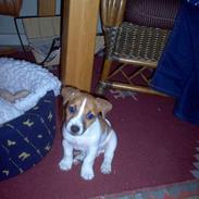 Jack russell terrier Buller