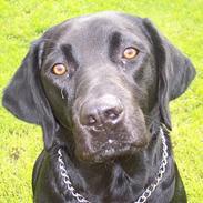 Labrador retriever Bella