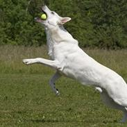 Hvid Schweizisk Hyrdehund Kappelgaards Tyson *RIP*
