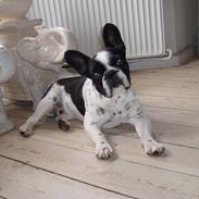 Fransk bulldog Zeus R.I.P