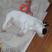 Fransk bulldog Anton