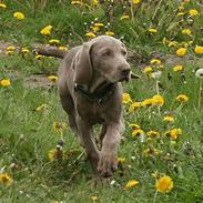 Weimaraner Hot Shoot´s Lotto (Anden) HD-A