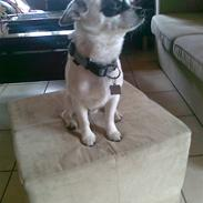 Chihuahua Bobo