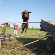 Labrador retriever Maxi