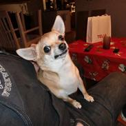 Chihuahua Birkedal's Sofus