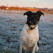 Dansk svensk gaardhund Coco