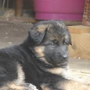 Schæferhund Thomsebo Bonnie.