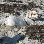 Blanding af racer Vita - græsk gadehund