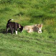 Alaskan malamute Theis