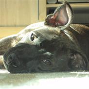 Staffordshire bull terrier Enzo