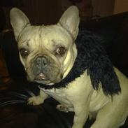 Fransk bulldog Lancomés   Trunte R.I.P