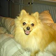 Pomeranian Pjuske