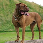 Dogue de bordeaux France Charme Chili