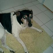 Dansk svensk gaardhund Snubbi R.I.P