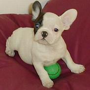 Fransk bulldog Ludvig