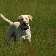 Labrador retriever Fie