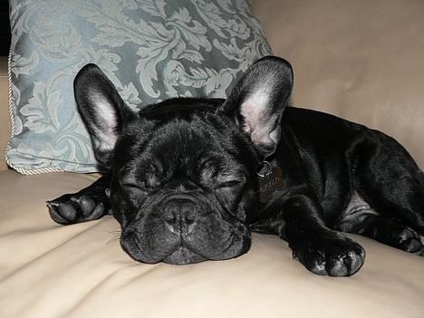 Fransk bulldog GIGOLO - Just chilling folks... :o) billede 17