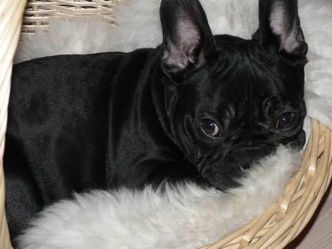 Fransk bulldog GIGOLO - Hmmm... er jeg i virkeligheden det sorte får i flokken??? billede 19