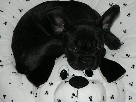 Fransk bulldog GIGOLO - Godnat og sov godt! billede 20