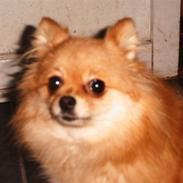 Pomeranian molly ( pomse )