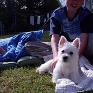 West highland white terrier Penny