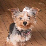Yorkshire terrier Tino