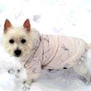 West highland white terrier Cleo