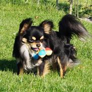 Chihuahua Bailey