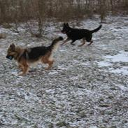 Schæferhund Laica